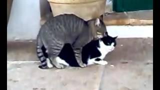 Cats fucking