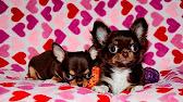 ЧИХУА - продажа карманных собак - YouTube