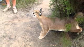 Caracal Hissing