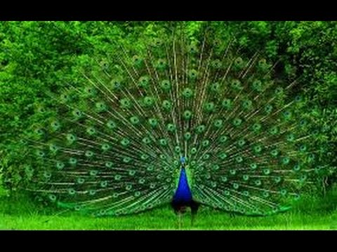 Un pavo real hermoso youtube - Fotos de un pavo real ...