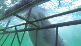 Great White Shark Goes Nuts!!