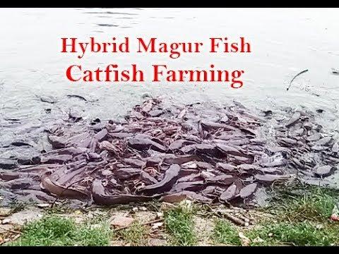 Desi magur fish farming - Myhiton