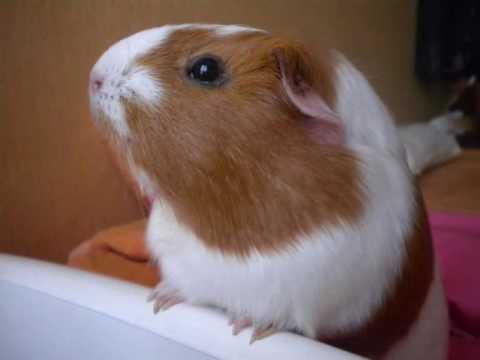Pr sentation de noisette le cochon d 39 inde exceptionnel youtube - Queue de cochon vis ...