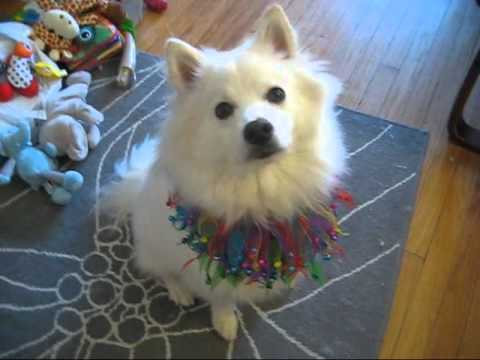 Indy the American Eskimo Dog does Tricks for Miranda