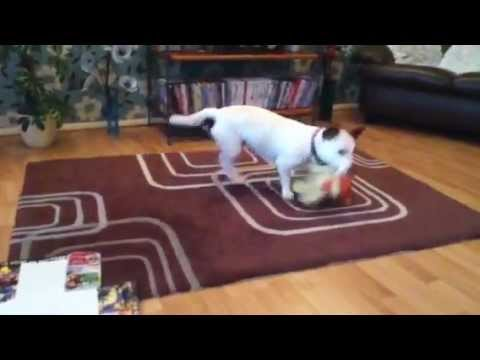 Dog shakes toy