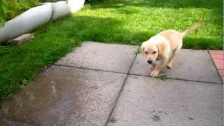 Lab/retriever Mix Playing With Water