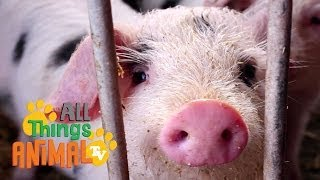 PIGS: Animals for children. Kids videos. Kindergarten | Preschool learning