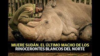 Muere Sudán, el último macho de los rinocerontes blancos del norte thumbnail