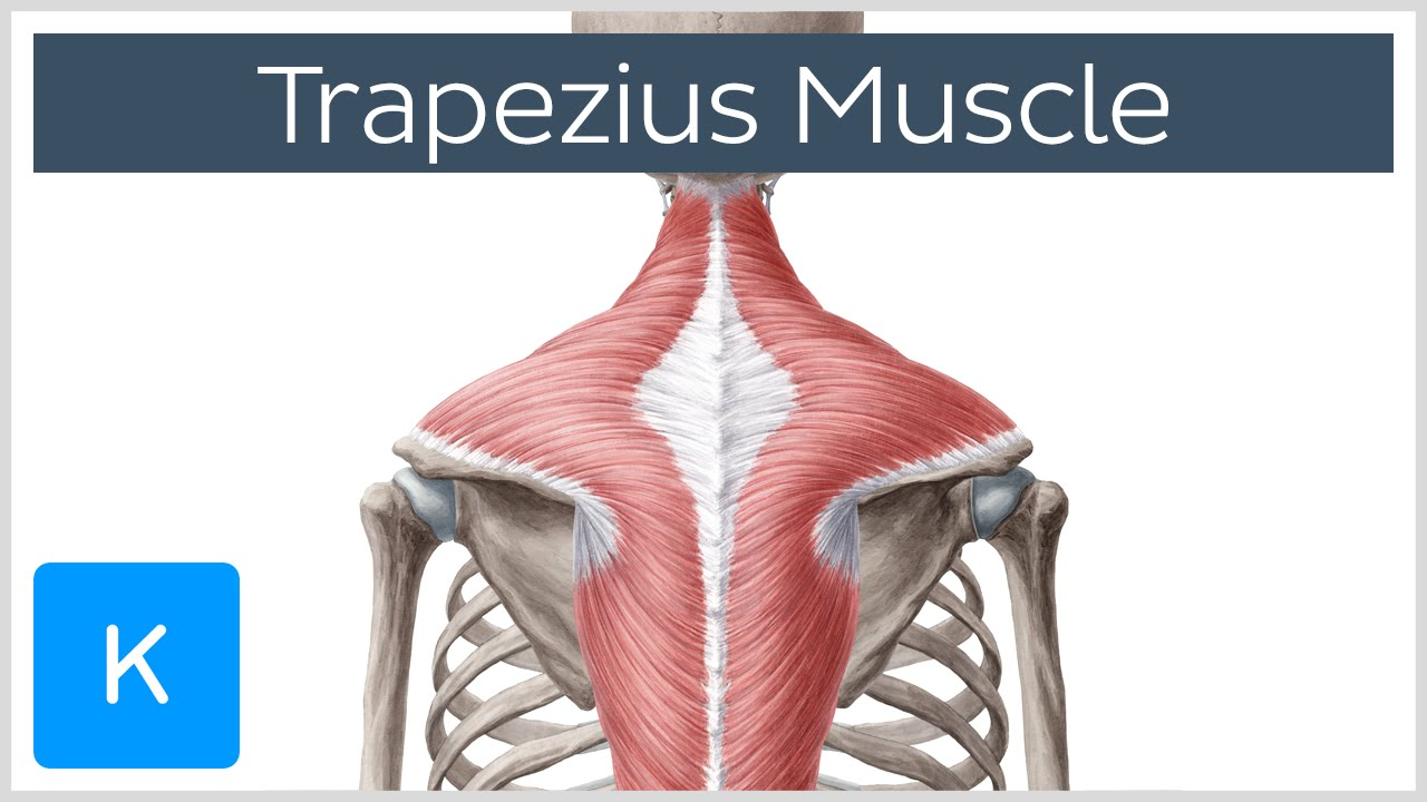 small resolution of trapezius muscle origin insertion actions human anatomy kenhub youtube