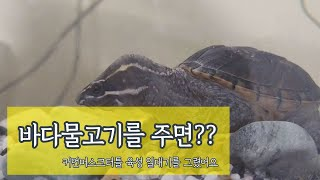 커먼머스크터틀 거북이에게 바다고기를 주면 어떤반응일까?…