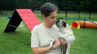 Daisy The Agility Pug Best Trained