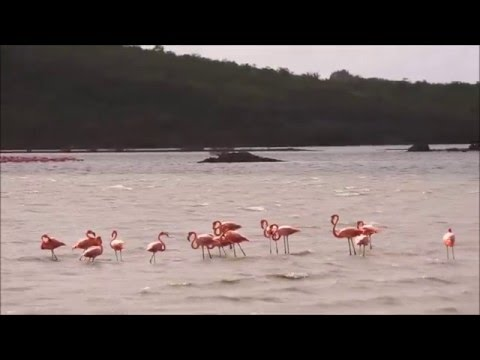 Flamingos On Curacao