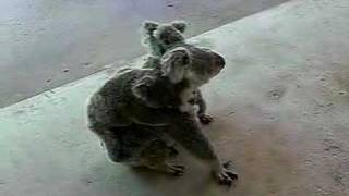 Repeat youtube video Mother and twin Koala Babies