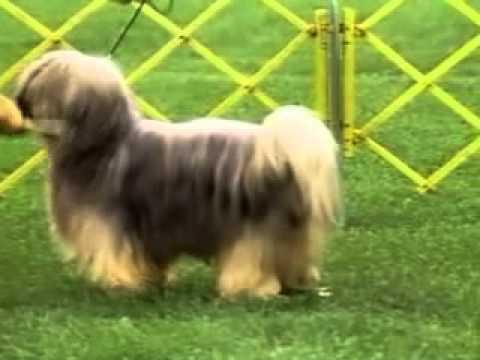 Tibetan Terrier - Chapter 1