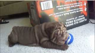 Chubbs (chocolate/brown Green Eye'd Shar-pei)