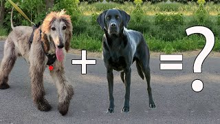 AFADOR DOG  Everything you need to know about the Afghan hound and labrador mix   cross breeds