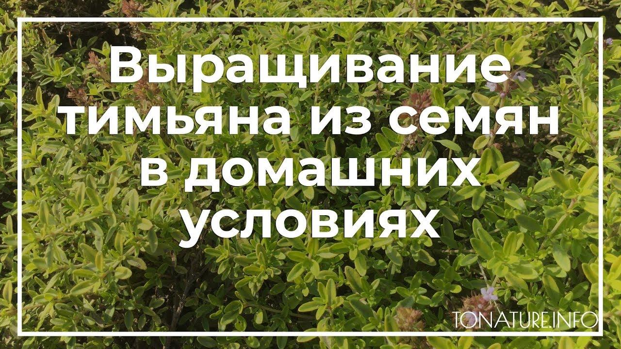 Выращивание тимьяна из семян в домашних условиях | toNature.Info
