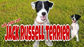 Dogs 101  Jack Russell Terrier  All about Jack Russell Terrier