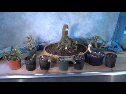 Chopping an Auction Ficus for Fun and Profit