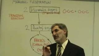 Professor Fink explains CELLULAR RESPIRATION (Part 5); O2 Debt; Aerobic Resp; Krebs Cycle