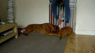 Dogue De Bordeaux Puppies Playing