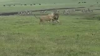 Собака гоняет Львов