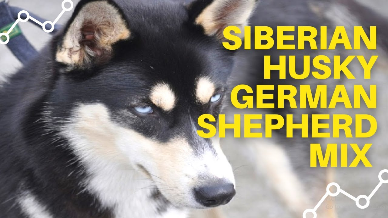 Siberian Husky German Shepherd Mix Puppies Youtube