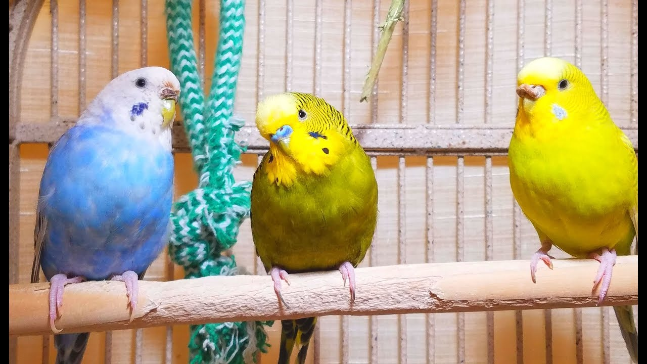 3 Hr Budgies Chirping Parakeets Sounds Reduce Stress Healing ADHD Anxiety  Heart Disease Treatment