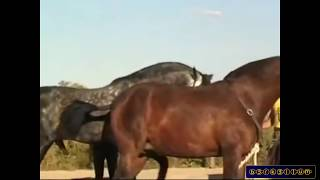 Repeat youtube video Horse mating - Animals mating and human - Horse mating 2015 Horse breeding