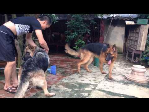 Bán chó becgie (GSD) thuần chủng