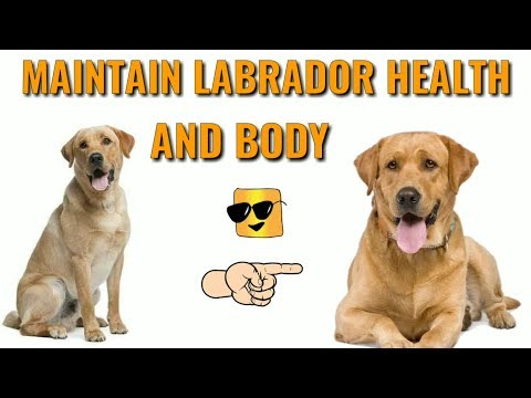 How To Take Care Labrador | in Hindi | How to Maintain Labrador retriever Health And Body | lab |