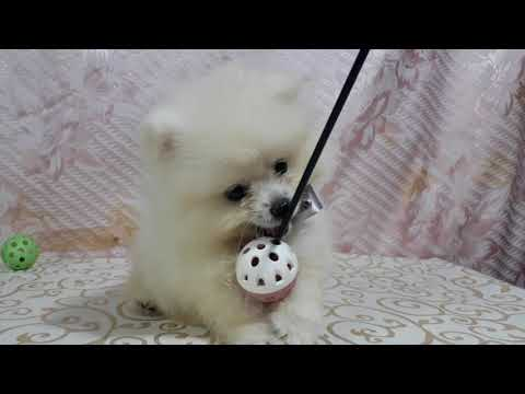 PuppyFinder.com : Handsome the white Pomeranian