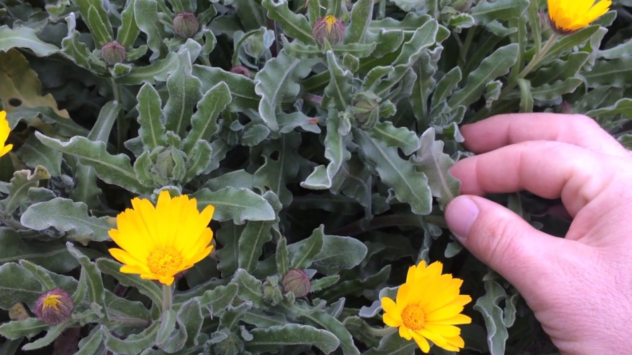Download Portakal Nergisi Aynısefa çiçeği faydaları