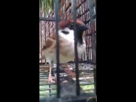 Suara Burung Gereja Tarung Cocok Untuk Pemasteran