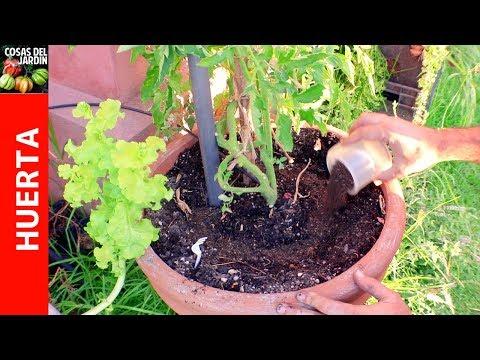 Como fertilizar tomates y Receta de fertilizante casero más Flores y Frutos