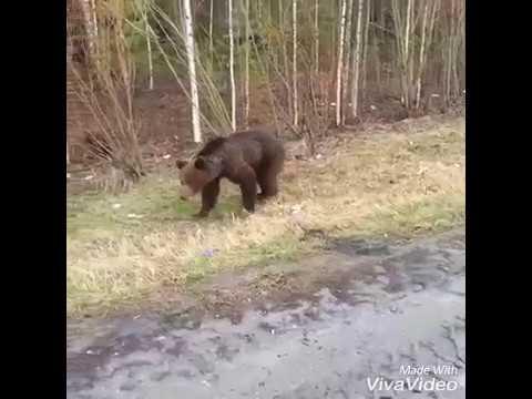Смотреть вот  что может произойти при встрече с медведем онлайн