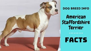 American Staffordshire Terrier dog breed. All breed characteristics and facts about Am staff