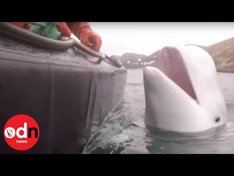 Whale 'trained by Russian military' found off Norway
