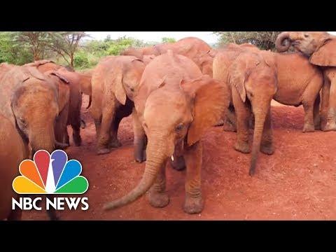 An Orphanage For Elephants Working To Raise Infant Elephant Calves | NBC News
