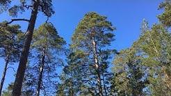 Kauneimmat puut