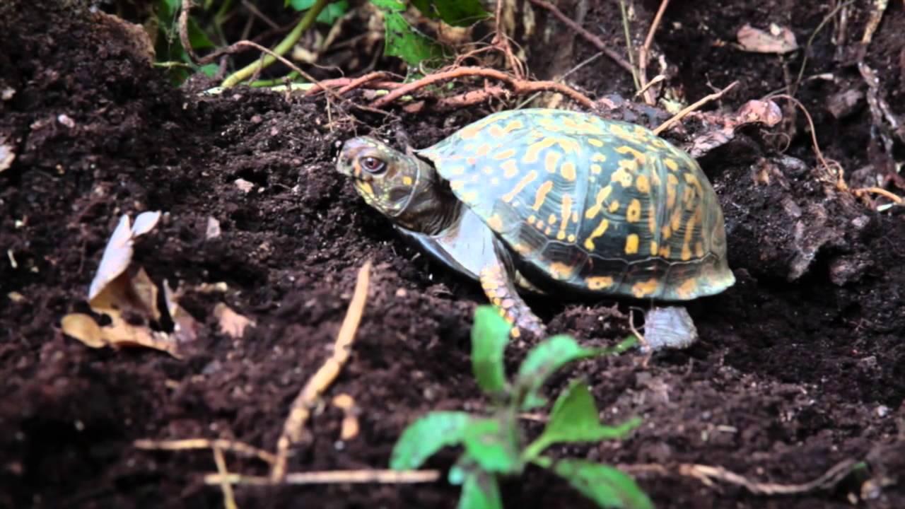How You Can Help Turtles Hibernate Youtube