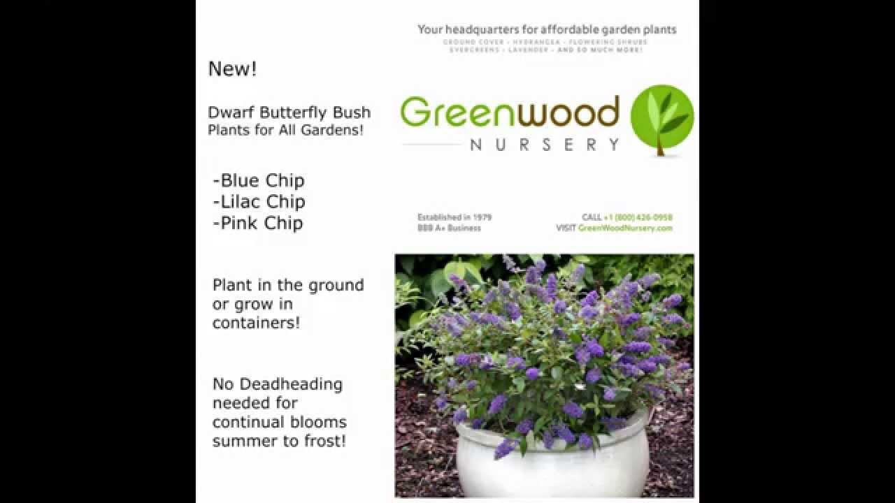 New Dwarf Erfly Bush Added To Online Plant Catalog At Greenwood Nursery