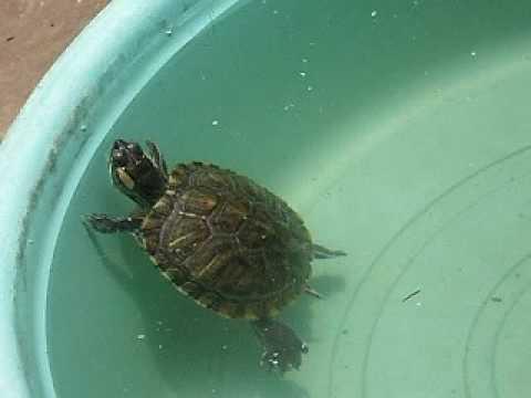 Swimming Turtle Pet : my pet turtles (red eared sliders) - YouTube