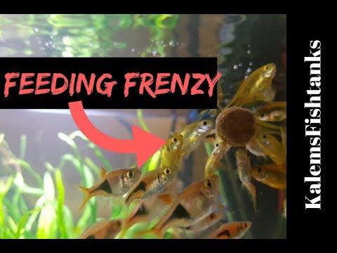 New Fish: Silvertip Tetras FEEDING FRENZY