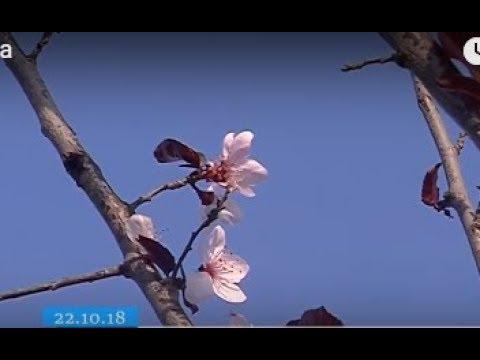 ТРК ВіККА: У Черкасах зацвіла сакура