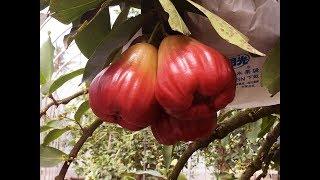Gambar cover Wax Apple  Beyond Sweet  Taiwan Leisure Farms Development Association  Full HD 5 Minutes