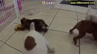 Boxer, Puppies, For, Sale, In, Anchorage, Alaska,AK, Fairbanks, Juneau, Eagle River