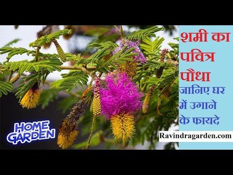 shami ka paudha ||  शमी वृक्ष गमले में कैसे उगाएं || घर के लिए  शुभ वृक्ष