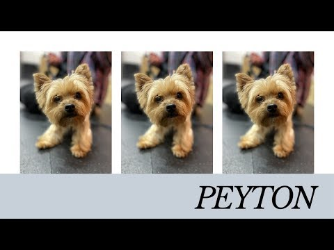 "yorkie-""peyton""-