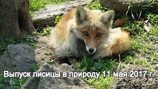 Выпуск лисицы в природу 11 мая 2017 г.